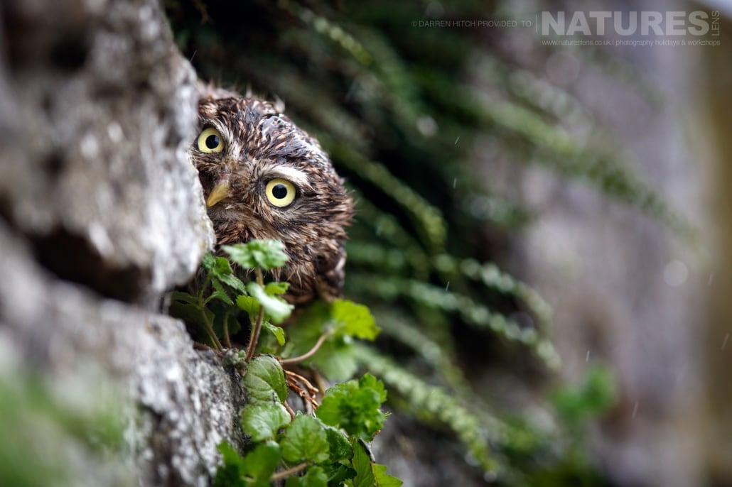 A little owl peeks out from a stone wall, photographed on the NaturesLens Autumn Birds of Prey Workshop