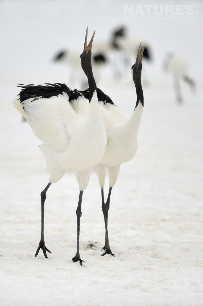 A pair of Red Crowned Cranes, heads thrown back, barking into the air this image was captured on the Island of Hokkaido during the NaturesLens Winter Wildlife of Japan Photography Holiday