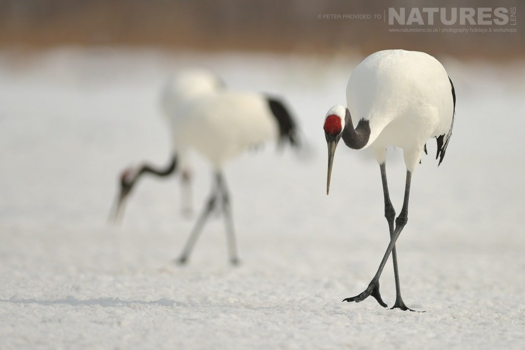 A pair of Red Crowned Cranes, the revered bird of the island this image was captured on the Island of Hokkaido during the NaturesLens Winter Wildlife of Japan Photography Holiday