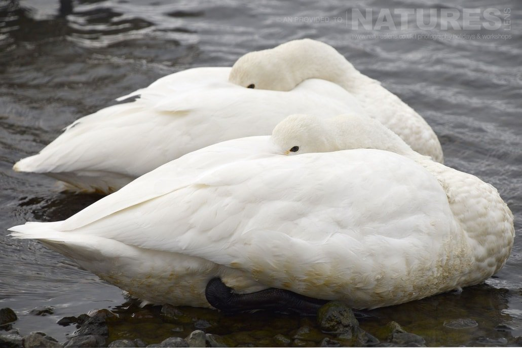 A pair of whooper swans of Lake Kussharo sleep floating on the thermally heated waters of the lake captured NaturesLens during the Winter Wildlife of Japan Photography Holiday