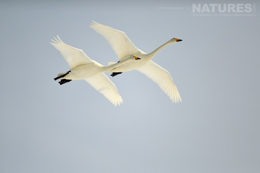 A pair of whooper swans take flight against a pristine blue sky this image was captured on the Island of Hokkaido during the NaturesLens Winter Wildlife of Japan Photography Holiday