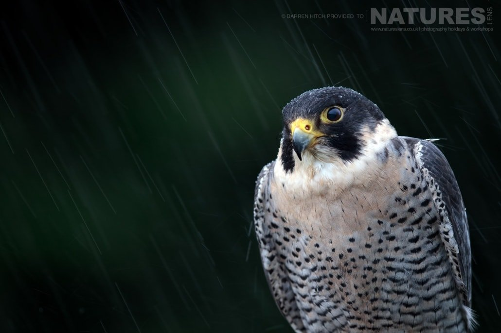 A peregrine perched in the rain, photographed on the NaturesLens Autumn Birds of Prey Workshop