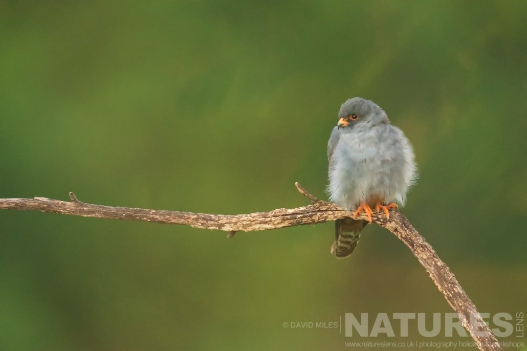 A post rouse red footed falcon typical of the type of image that may be captured during the NaturesLens Red footed Falcons & Steppe Birds of Hungary Photography Holiday
