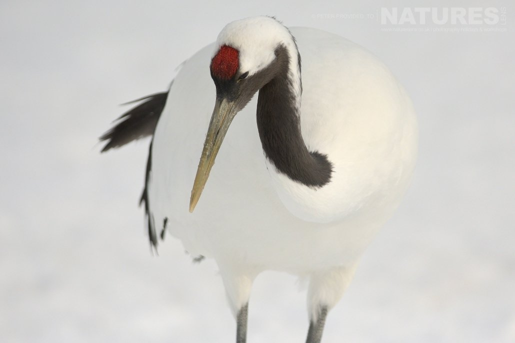 A red crowned crane showing off the patch of red bare skin on the crown this image was captured on the Island of Hokkaido during the NaturesLens Winter Wildlife of Japan Photography Holiday