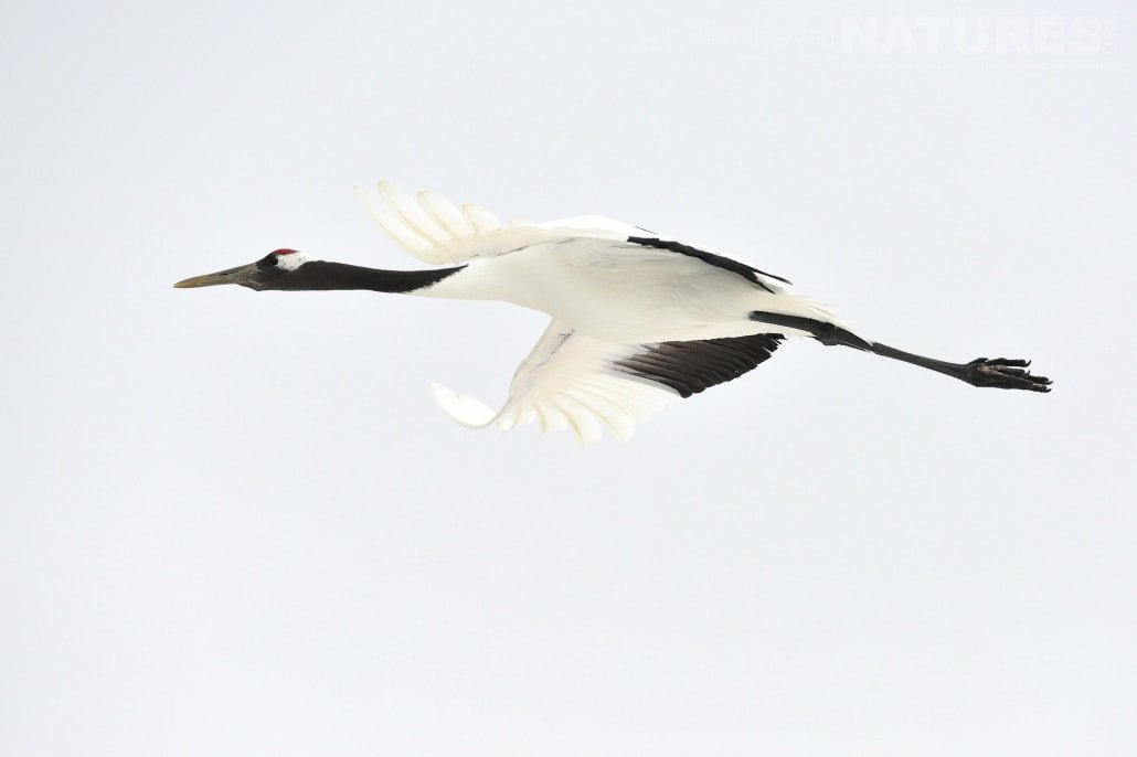 A red crowned crane takes flight against a pristine blue sky this image was captured on the Island of Hokkaido during the NaturesLens Winter Wildlife of Japan Photography Holiday