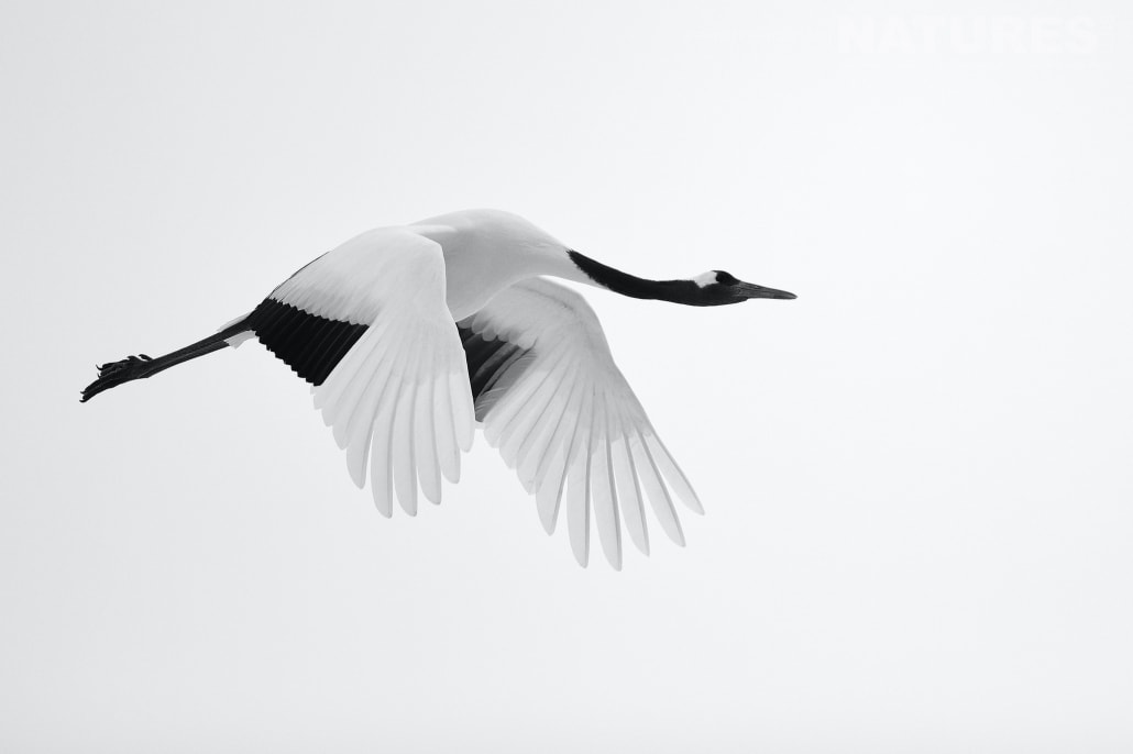 A red crowned crane takes flight against a pristine sky this image was captured on the Island of Hokkaido during the NaturesLens Winter Wildlife of Japan Photography Holiday