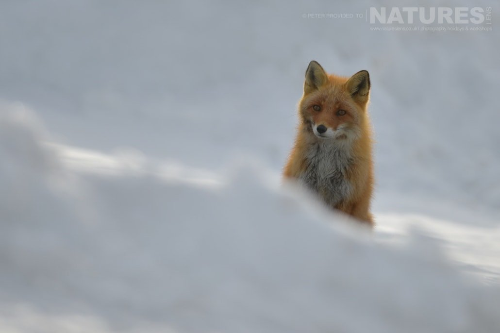 A red fox of the Furen Penninsula this image was captured on the Island of Hokkaido during the NaturesLens Winter Wildlife of Japan Photography Holiday