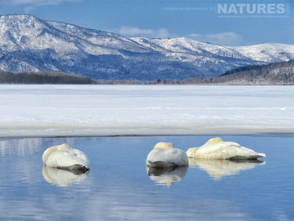 A trio of whooper swans sleep on the thermal waters of Lake Kussharo captured NaturesLens during the Winter Wildlife of Japan Photography Holiday