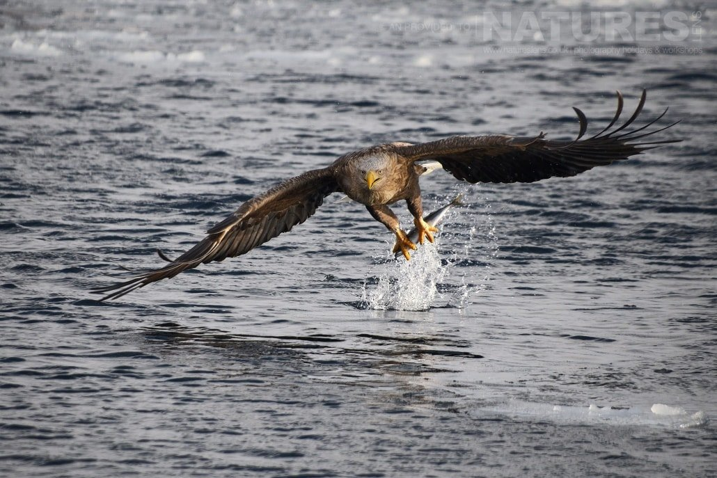 A white tailed sea eagles snatches a fish from the frozen seas on the coast of Rausu captured NaturesLens during the Winter Wildlife of Japan Photography Holiday