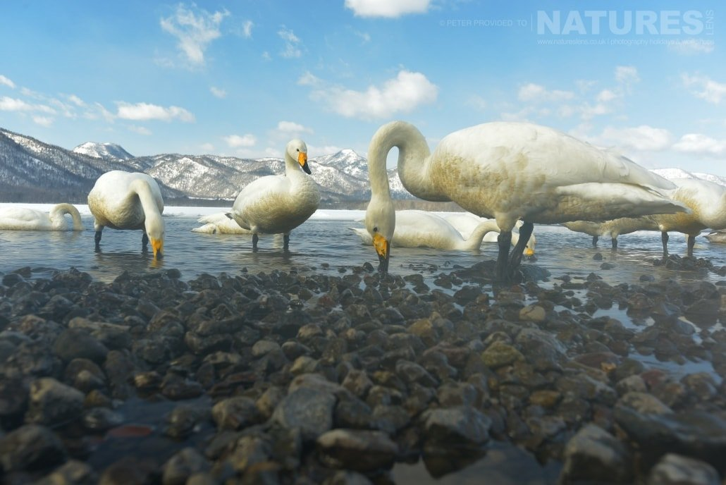 A wide angle capture of a group of Whooper Swans found at Lake Kussharo this image was captured on the Island of Hokkaido during the NaturesLens Winter Wildlife of Japan Photography Holiday