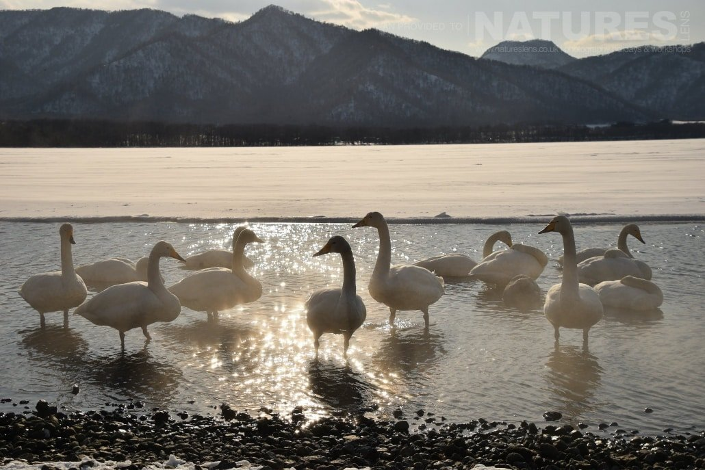 A wide angle image that captures one of the groups of whooper swans that call Lake Kussharo home captured NaturesLens during the Winter Wildlife of Japan Photography Holiday