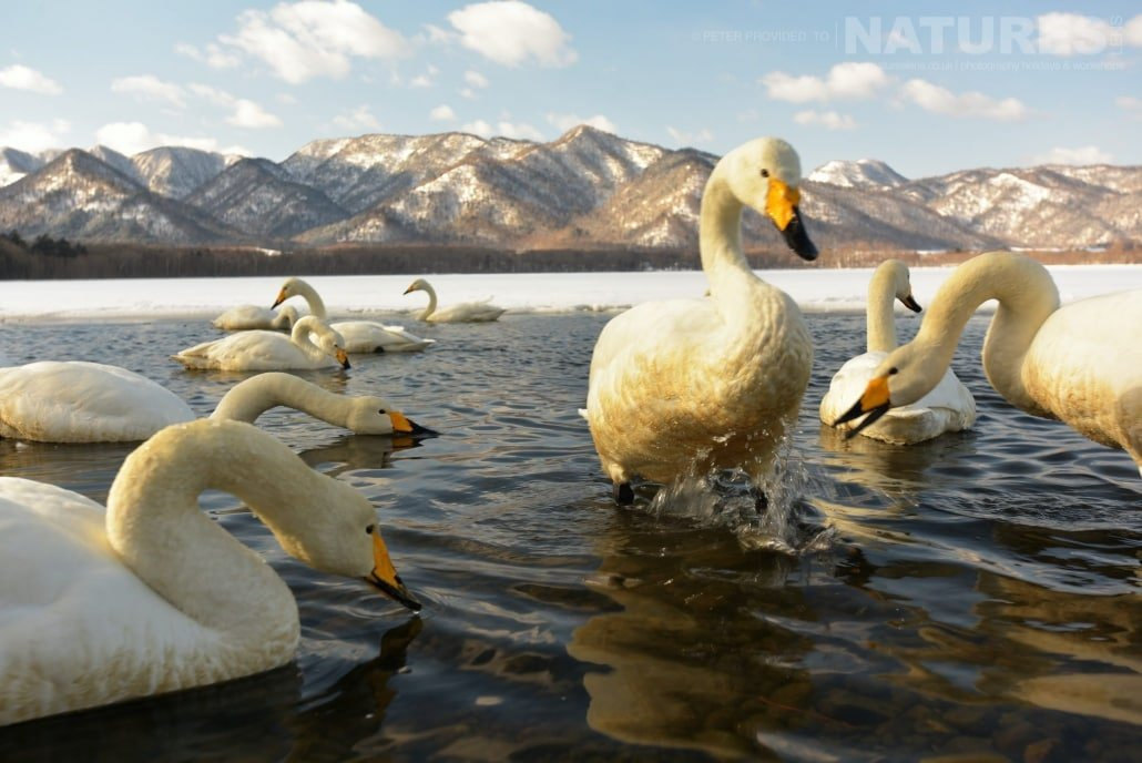 A wide angle of a group of Whooper Swans found at Lake Kussharo this image was captured on the Island of Hokkaido during the NaturesLens Winter Wildlife of Japan Photography Holiday