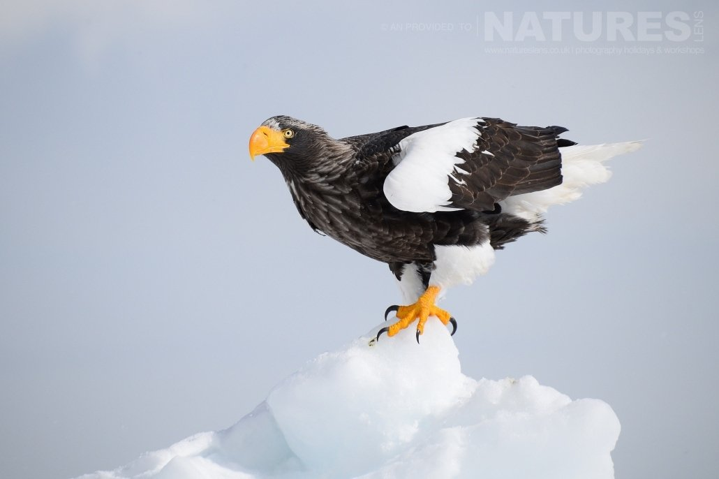 An exceptionally beautiful Stellers sea eagle poses on a outcrop of frozen pack ice located on the coast of Rausu captured NaturesLens during the Winter Wildlife of Japan Photography Holiday