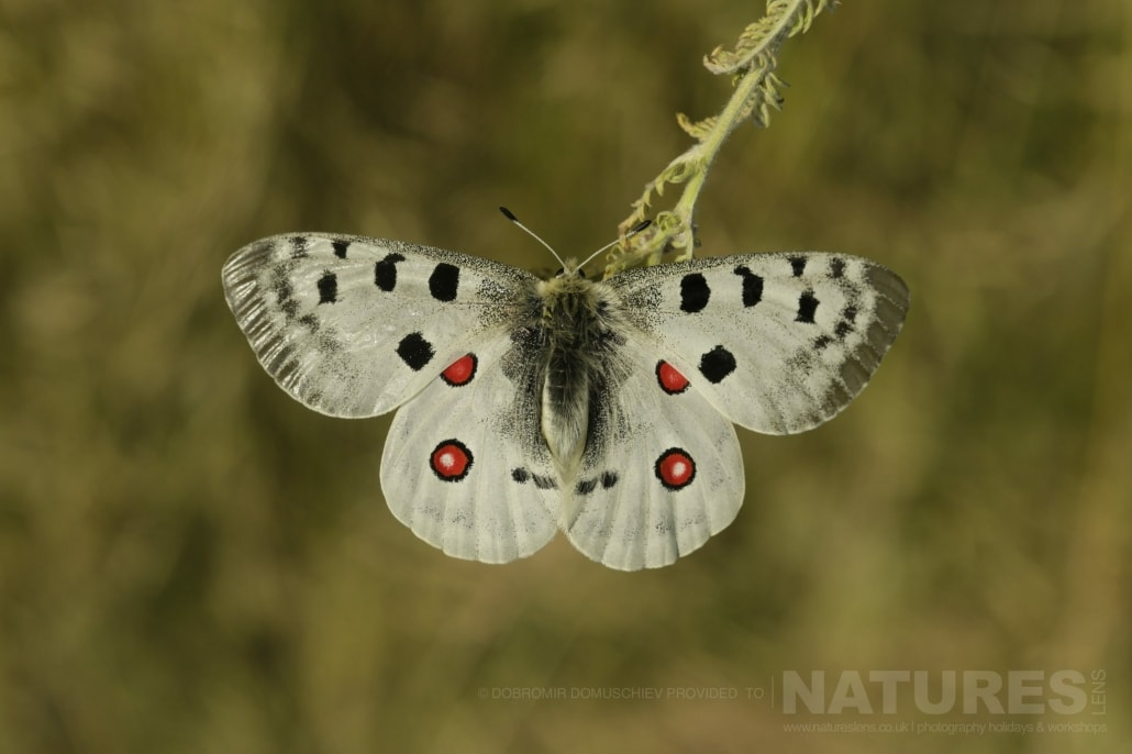 An image typical of those that may be captured during the NaturesLens Butterflies & Macro Photography of Bulgaria Holiday 01