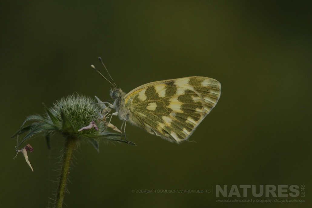 An image typical of those that may be captured during the NaturesLens Butterflies & Macro Photography of Bulgaria Holiday 04