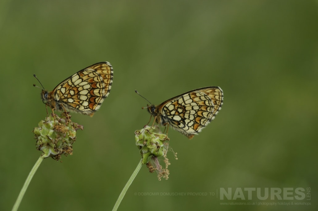 An image typical of those that may be captured during the NaturesLens Butterflies & Macro Photography of Bulgaria Holiday 06