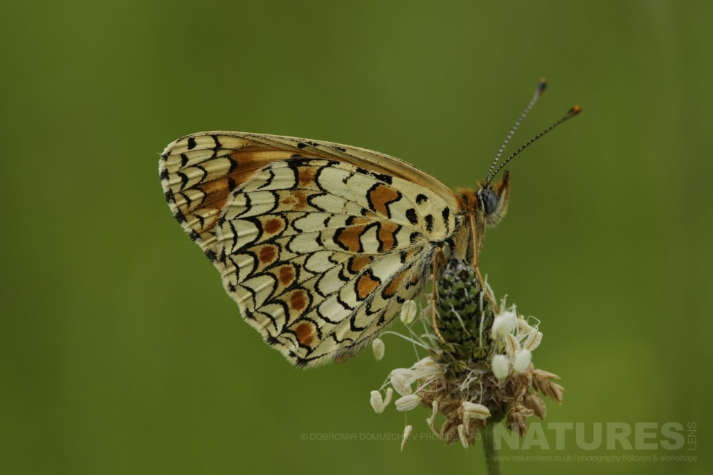 An image typical of those that may be captured during the NaturesLens Butterflies & Macro Photography of Bulgaria Holiday 09