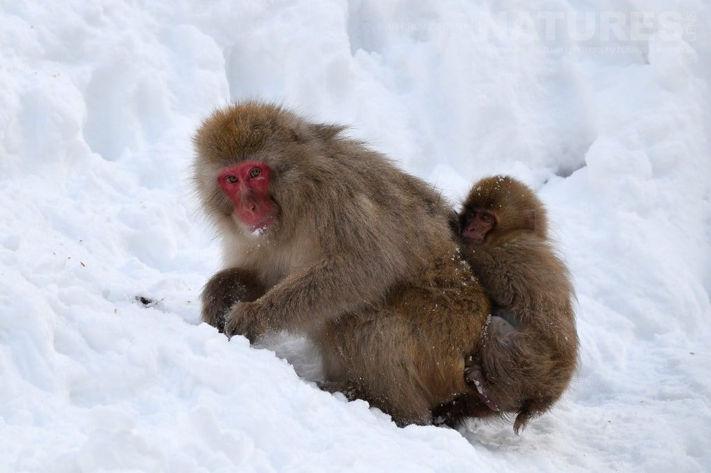 Mother and baby snow monkey of Hell's Valley foraging for food in the snow captured NaturesLens during the Winter Wildlife of Japan Photography Holiday