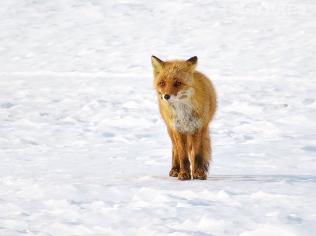 One of Hokkaido's red foxes pauses as he crosses the snow captured NaturesLens during the Winter Wildlife of Japan Photography Holiday