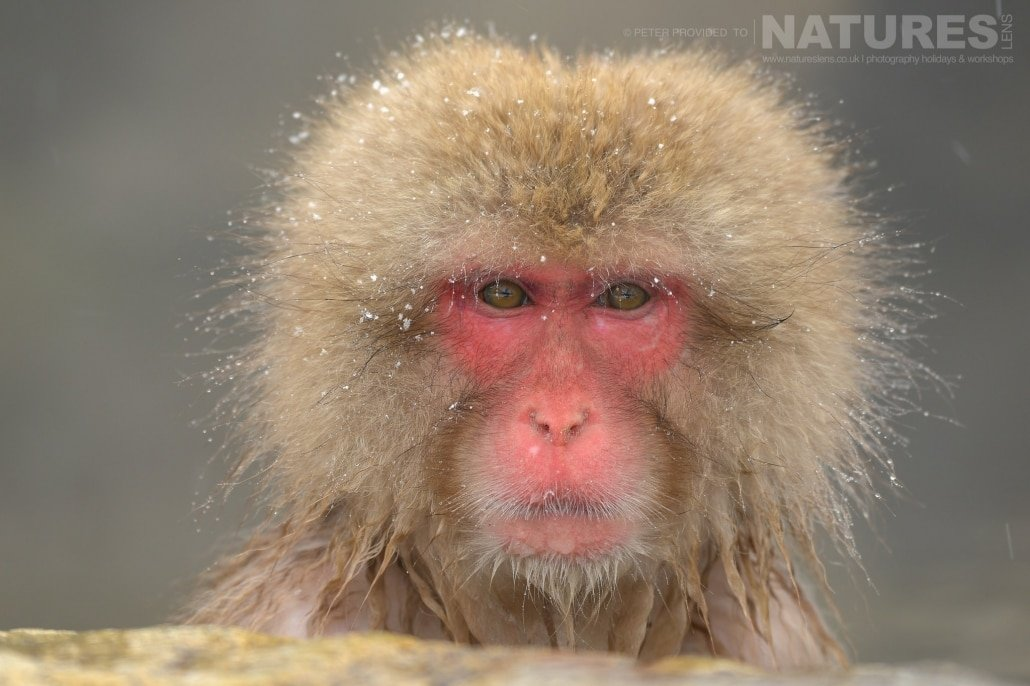 One of the adult Snow Monkeys in the thermal pool this image was captured during the NaturesLens Winter Wildlife of Japan Photography Holiday