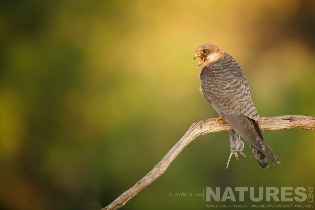 One of the female red footed falcons perched typical of the type of image that may be captured during the NaturesLens Red footed Falcons & Steppe Birds of Hungary Photography Holiday