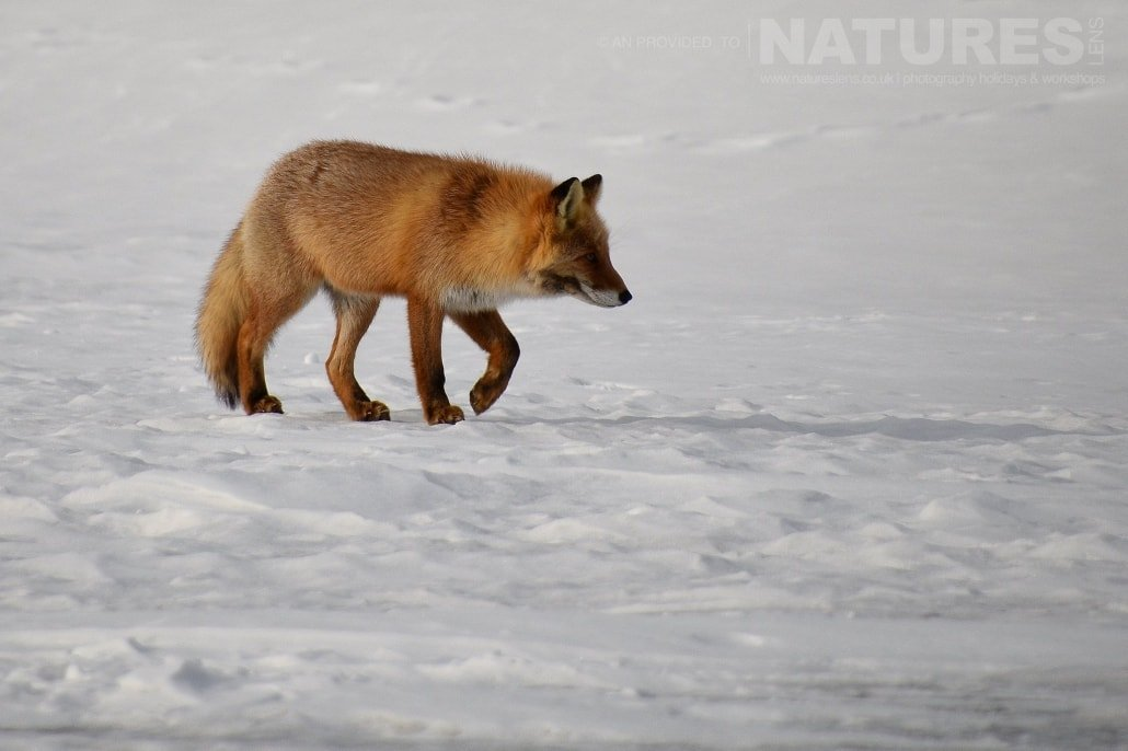 One of the red foxes of Hokkaido traverses the ice of a frozen harbour captured NaturesLens during the Winter Wildlife of Japan Photography Holiday