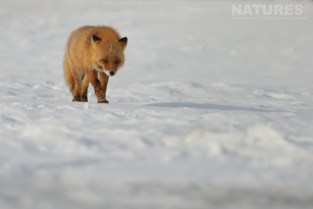 One of the red foxes of the Furen Penninsula this image was captured on the Island of Hokkaido during the NaturesLens Winter Wildlife of Japan Photography Holiday