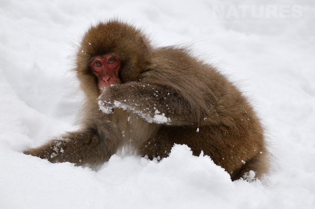 One of the snow monkeys of Hell's Valley foraging for food in the snow captured NaturesLens during the Winter Wildlife of Japan Photography Holiday