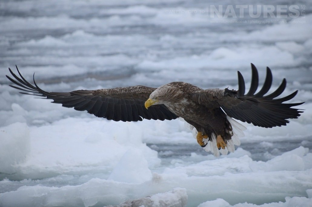 One of the white tailed sea eagles flies over the frozen pack ice located on the coast of Rausu captured NaturesLens during the Winter Wildlife of Japan Photography Holiday