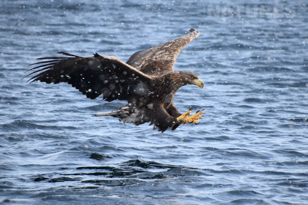 One of the white tailed sea eagles prepares to snatch a fish from the frozen seas on the coast of Rausu captured NaturesLens during the Winter Wildlife of Japan Photography Holiday