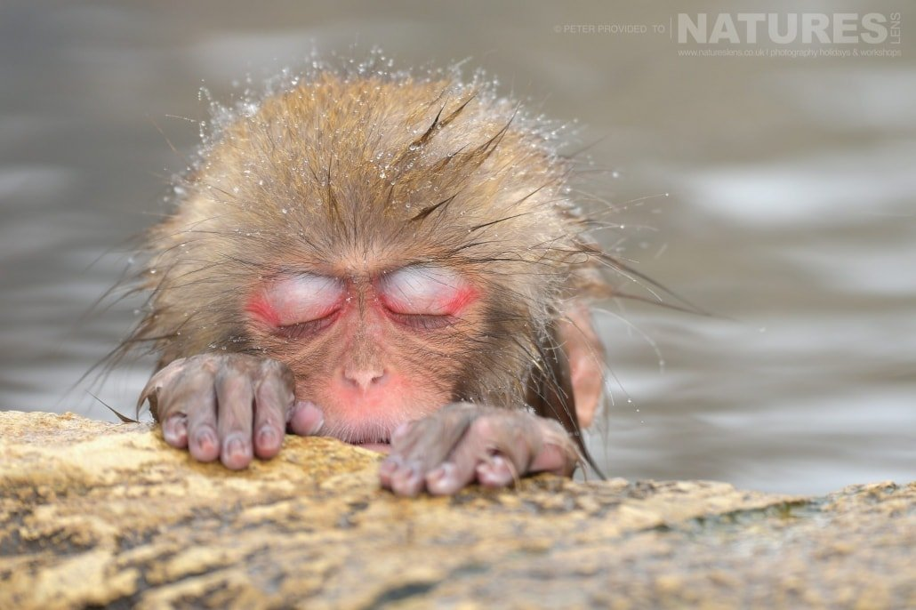 One of the young Snow Monkeys catches a nap in the thermal pool this image was captured during the NaturesLens Winter Wildlife of Japan Photography Holiday