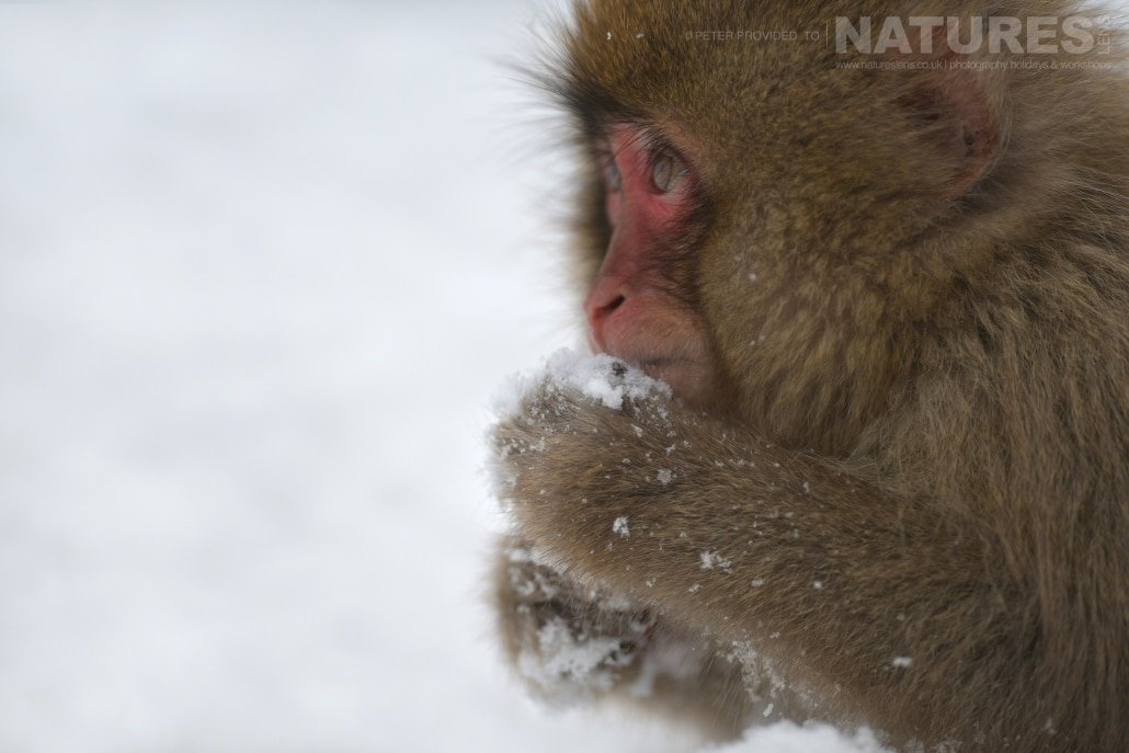 One of the young Snow Monkeys playing in the snow this image was captured during the NaturesLens Winter Wildlife of Japan Photography Holiday