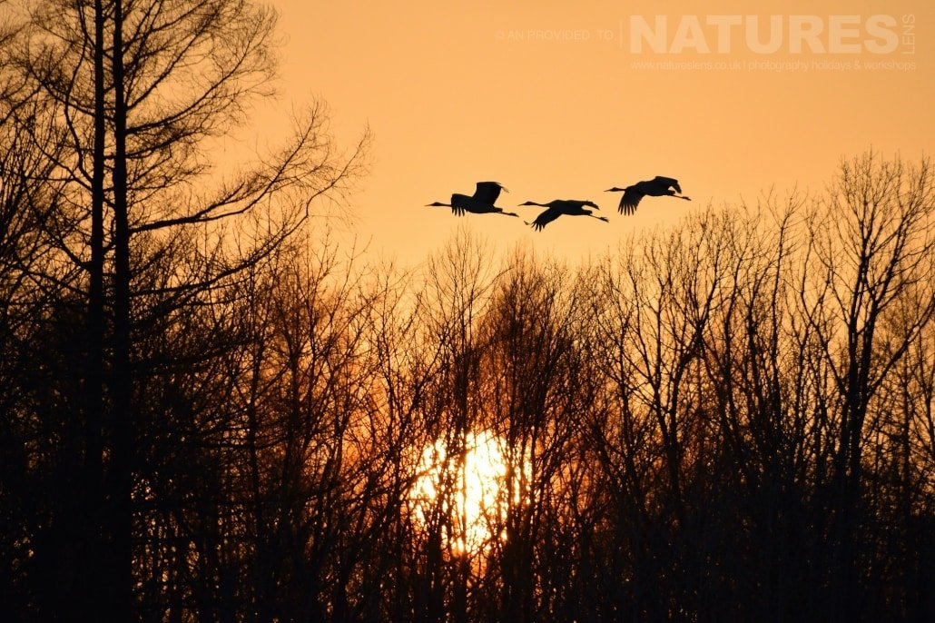 Silhouetted Red crowned cranes of Hokkaido returning to their roost site captured NaturesLens during the Winter Wildlife of Japan Photography Holiday