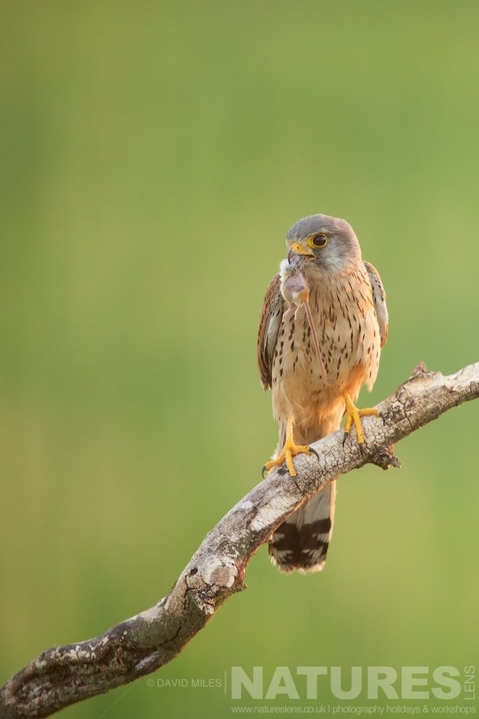 The kestrels are frequent visitors to the hide sites typical of the type of image that may be captured during the NaturesLens Red footed Falcons & Steppe Birds of Hungary Photography Holiday