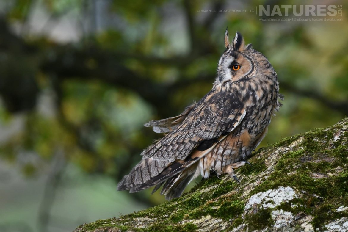 The long eared owl, perched on a twisted tree, photographed on the NaturesLens Autumn Birds of Prey Workshop