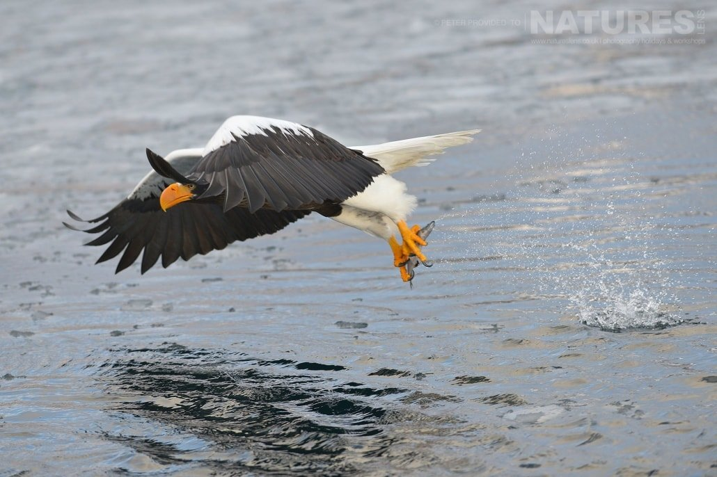 A Steller's Sea Eagle flies away having successfully grabbed a fish from the Rausu seas - this image was captured on the Island of Hokkaido during the NaturesLens Winter Wildlife of Japan Photography Holiday
