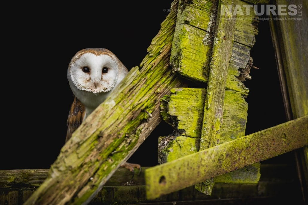 A beautiful portrait of n inquisitive barn owl, peeking at the photographers from a ramshackle barn door, captured by Sean Weekly, on the NaturesLens Autumn Birds of Prey Photography Workshop