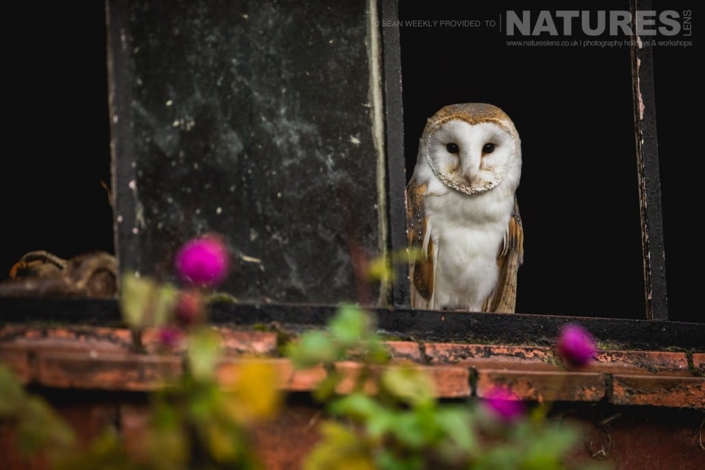 A classic portrait of a barn owl, captured by Sean Weekly, on the NaturesLens Autumn Birds of Prey Photography Workshop