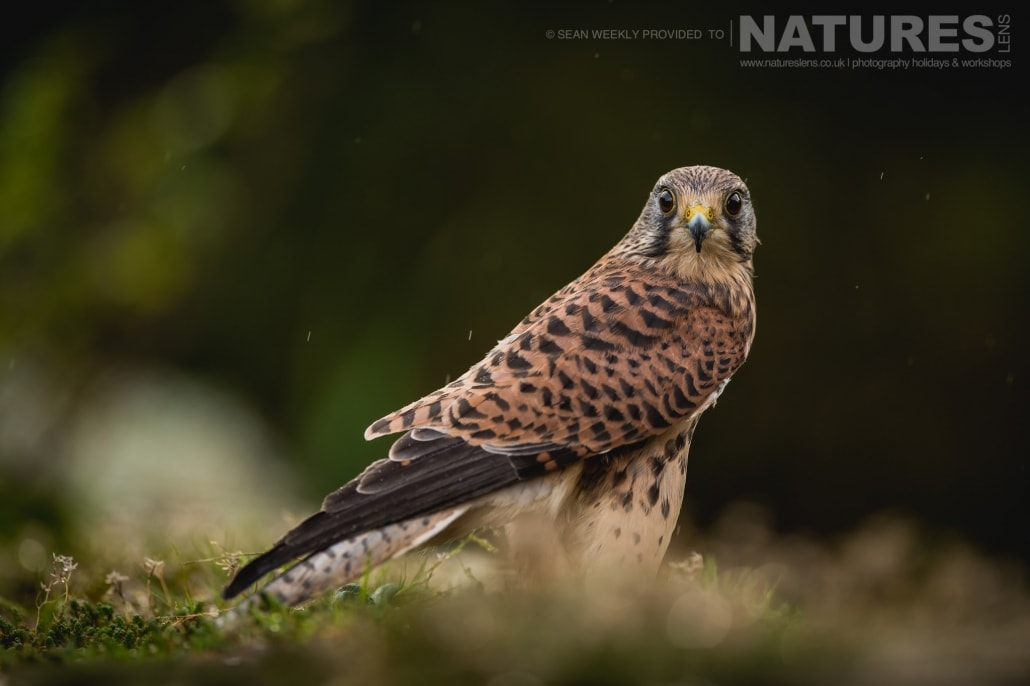 A classic portrait of a kestrel amongst heather, captured by Sean Weekly, on the NaturesLens Autumn Birds of Prey Photography Workshop