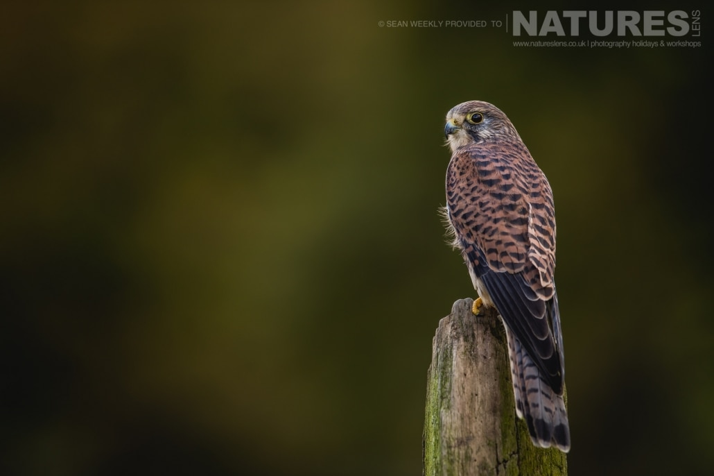 A classic portrait of a kestrel, captured by Sean Weekly, on the NaturesLens Autumn Birds of Prey Photography Workshop