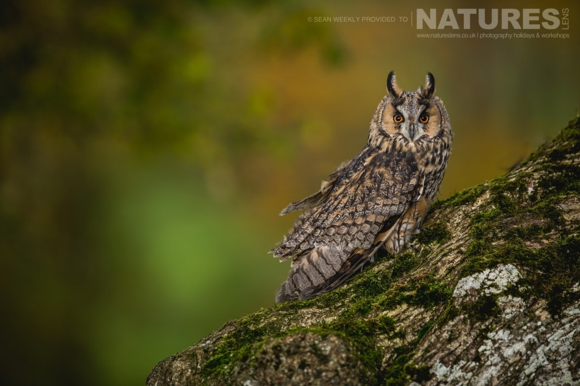 A classic portrait of a long eared owl, captured by Sean Weekly, on the NaturesLens Autumn Birds of Prey Photography Workshop