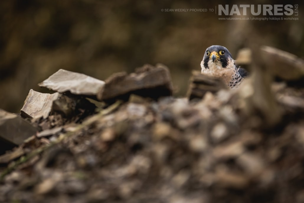 A peregrine falcon peeks over the top of a small quarry area, captured by Sean Weekly, on the NaturesLens Autumn Birds of Prey Photography Workshop