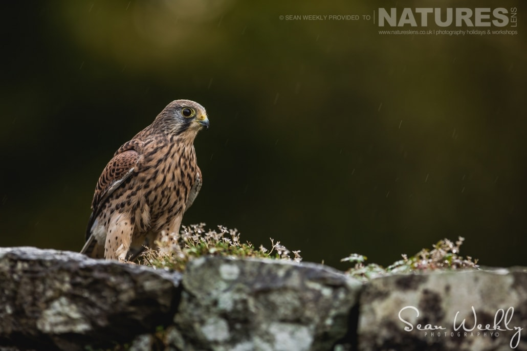 A portrait of a kestrel amongst heather, captured by Sean Weekly, on the NaturesLens Autumn Birds of Prey Photography Workshop