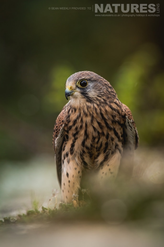 A portrait of a kestrel, captured by Sean Weekly, on the NaturesLens Autumn Birds of Prey Photography Workshop