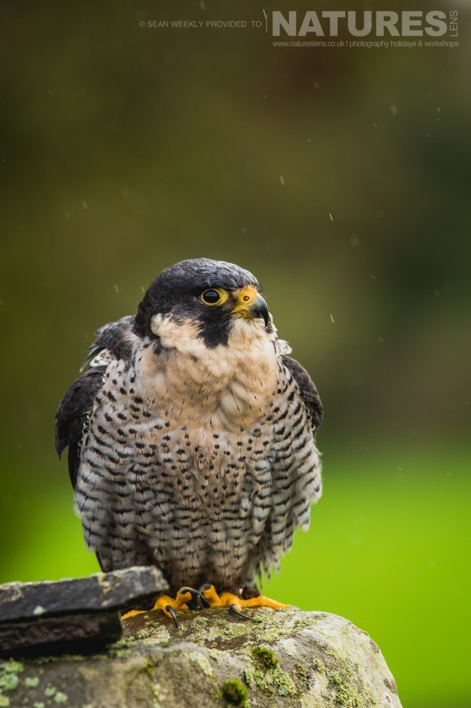 A portrait of a peregrine falcon perched, captured by Sean Weekly, on the NaturesLens Autumn Birds of Prey Photography Workshop