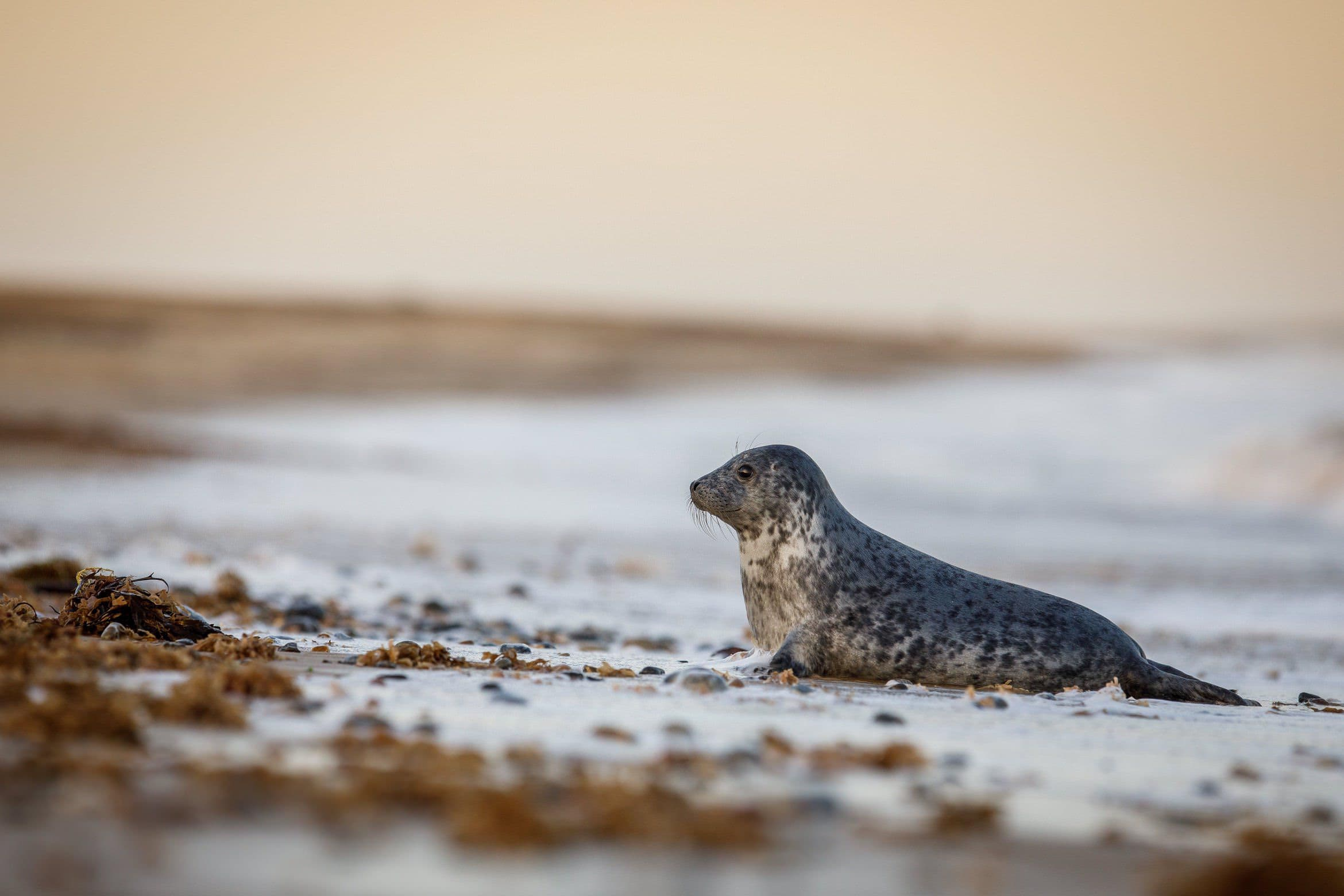 A Seal Plays On The Edge Of The Surf   Photographed During The NaturesLens Grey Seals Of Norfolk WIldlife Photograhpy Holiday