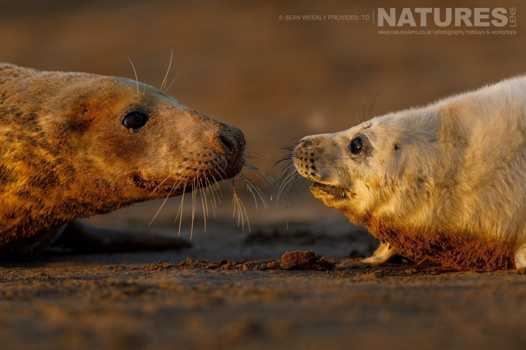 A seal pup nose to nose with it's mother photographed on the NaturesLens Seals of Lincolnshire Photography Holiday