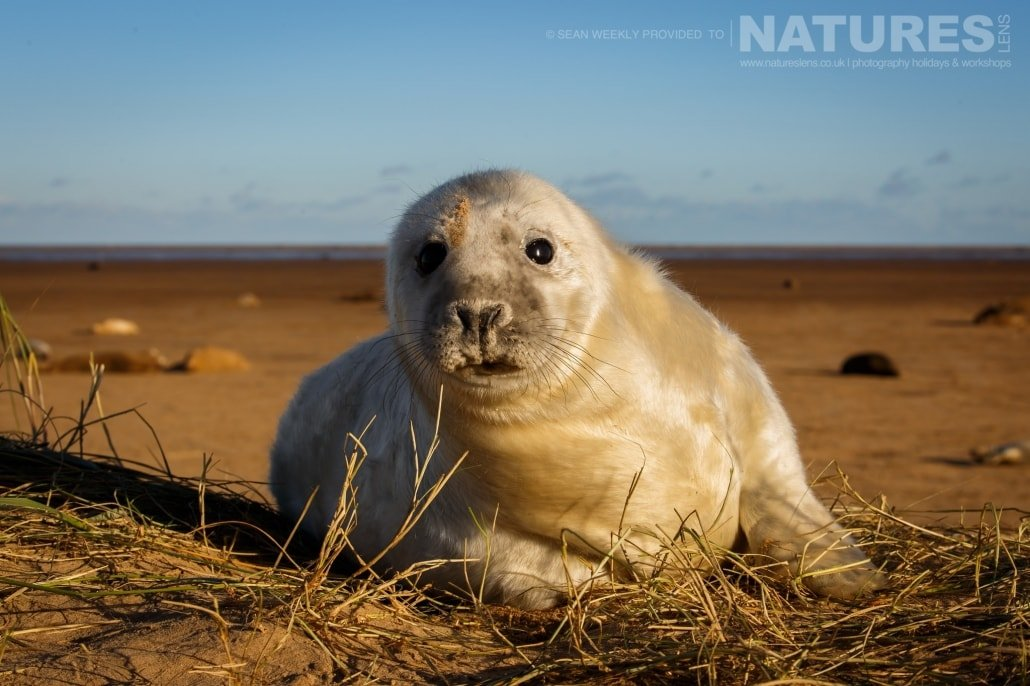A seal pup peers over the dunes at the photographer photographed on the NaturesLens Seals of Lincolnshire Photography Holiday