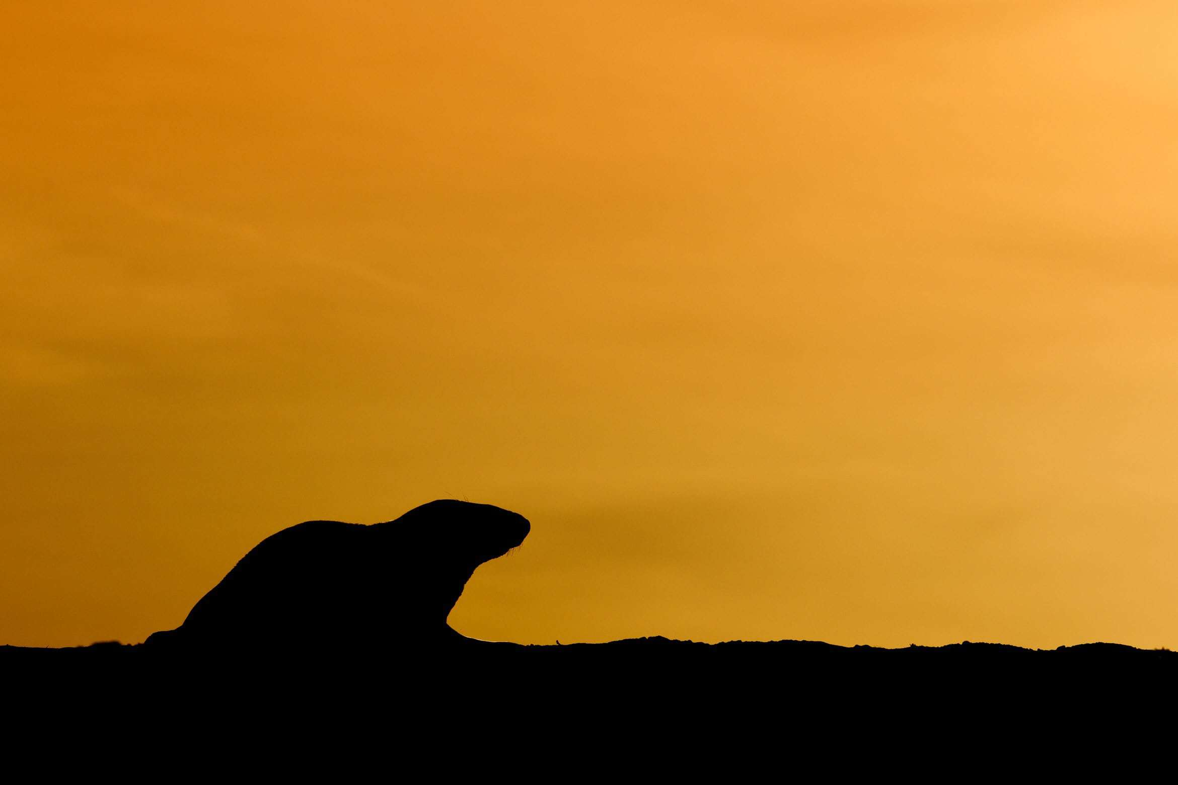 A Seal Silhouetted Against The Setting Sun   Photographed During The NaturesLens Grey Seals Of Norfolk WIldlife Photograhpy Holiday