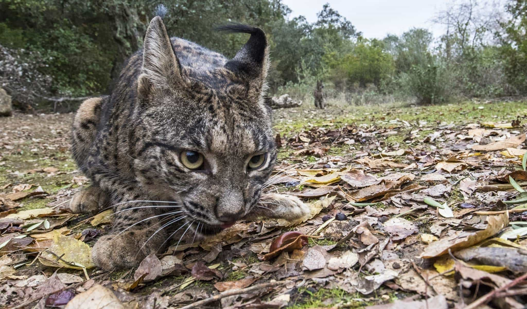 A Wide Angle Image Of An Iberian Lynx In The Sierra Morena Region Of Spain   Photographed. During The NaturesLens Wildcats, Eagles & Iberian Lynx Of Spain Photography Holiday